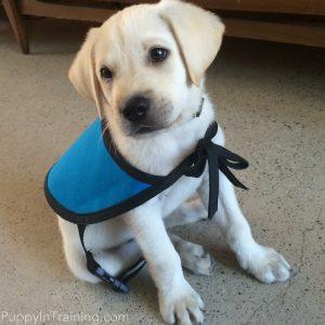 Archer, Puppy In Training #6