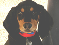Dudley the Black and Tan Coonhound