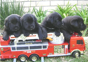 Black Lab Pups From Cuddly Canines