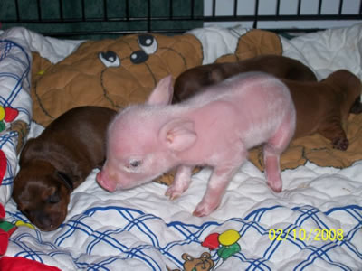 Pink The Piglet 1
