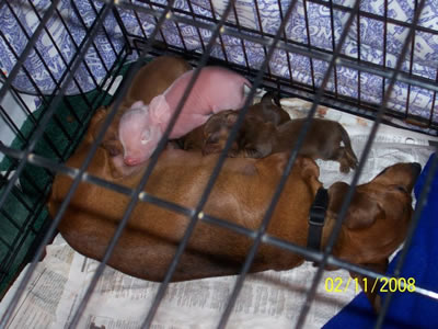 Pink The Piglet nursing with puppies