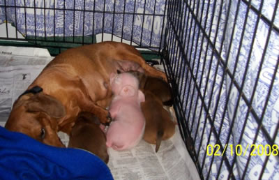 Pink The Piglet nursing some more