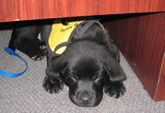Stetson Guide dog puppy under the desk