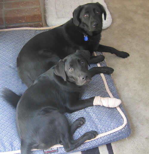 Linus, Stetson and his injured paw