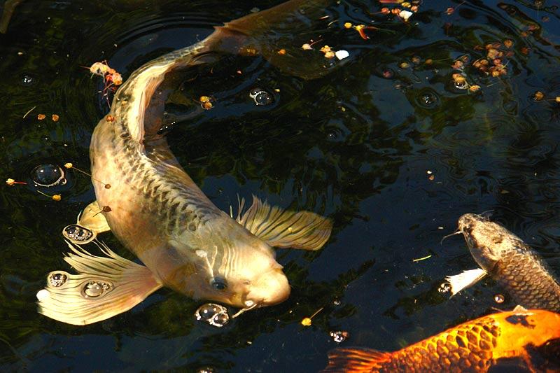 přípravky pro ryby v zahradním rybníčku, přípravek pro ryby v zahradním rybníku