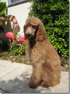 Monty the Standard Poodle