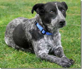 Queensland Heeler Mix
