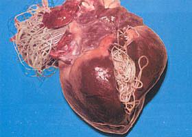 heartworms