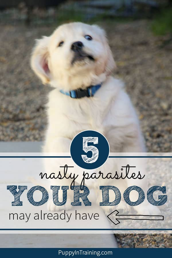 5 Nasty Parasites Your Dog May Already Have - Puppy In Training