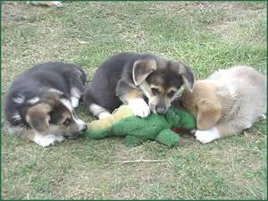 Puppies At Play