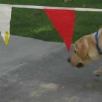 Yellow Lab vs the Hot Dogs