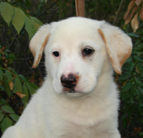 Chow And Yellow Lab Mix