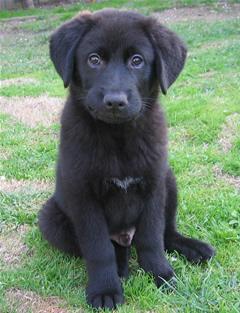 Australian Shepherd Mix Puppy - Linus