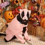 Labrador Retriever Pig