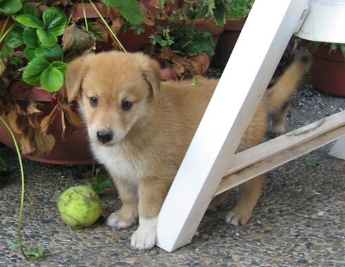 German Shepherd Labrador Retriever Mix - Blondie