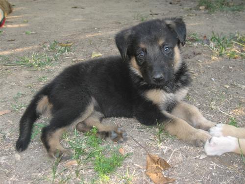 Characteristics Of Labrador Retriever German Shepherd Mix.jpg image and  description
