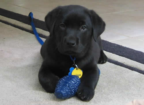 Black Lab puppy playing with his little purple plastic grenade toy.