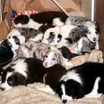 How Many Pups