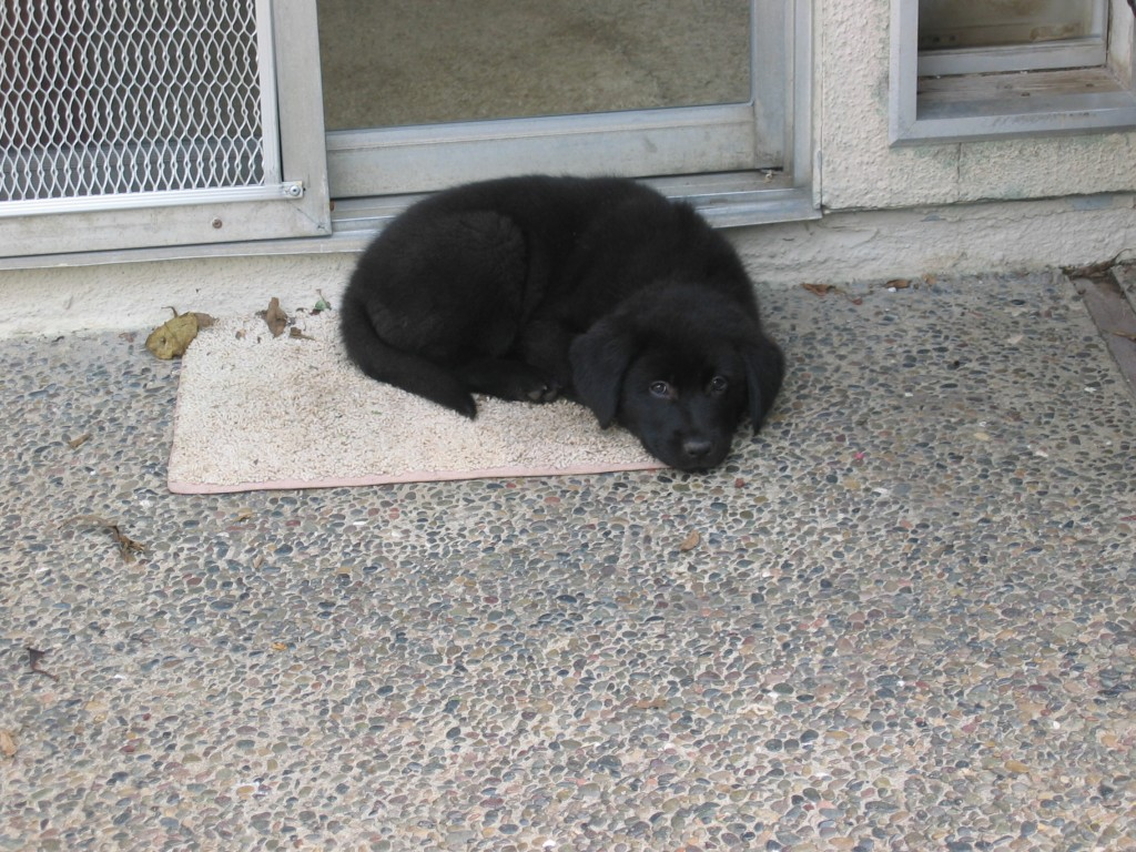 Australian Shepherd Mix, Linus the perfect puppy?