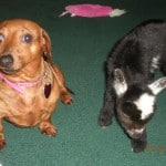 Dachshund and Baby Goat