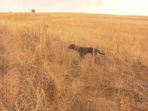 Brindle Labrador Retrievers Tora and Maia