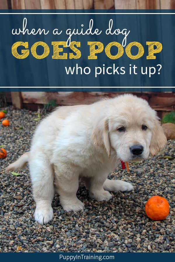 Who picks up guide dog poop? Puppy going poop