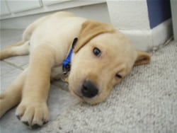 Rejected Guide Dog