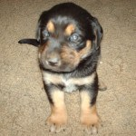 Black and Tan Lab Puppy