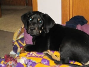 Black and Tan Labrador - Gadget