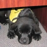 Stetson Black Lab Puppy