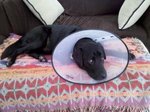 Labrador Retriever with Cone
