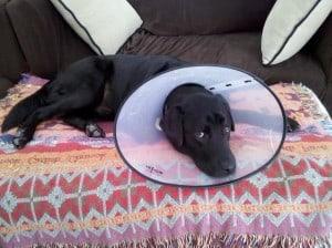Labrador Retriever with Cone