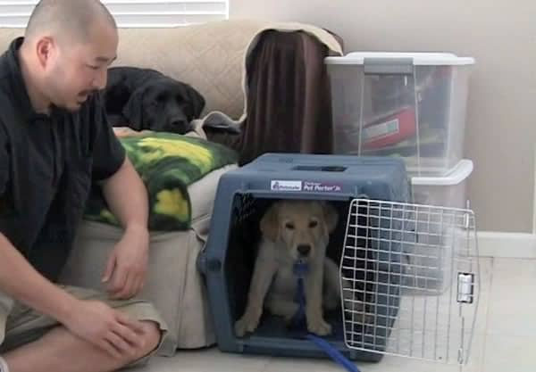 Yellow Lab puppy waits in plastic crate with door open.