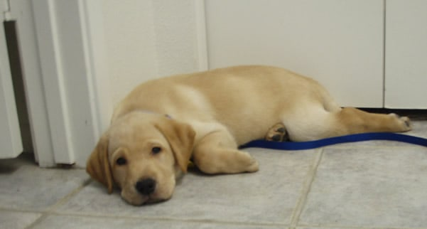 Yellow Lab puppy resting on tile floor.