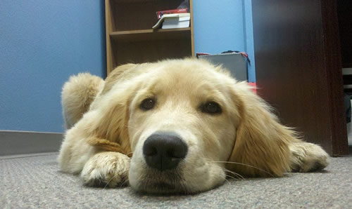 Golden Retriever puppy down on carpet nose level.