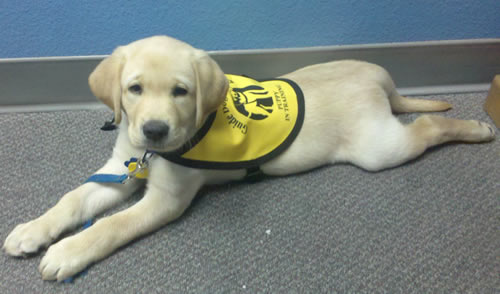 Guide dog puppies begging for homes | redland city bulletin.