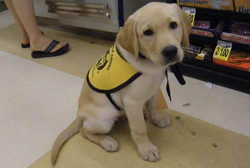 Yellow Labrador Retriever Pupppy