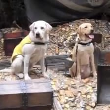 Dublin and Gentry Guide Dog Puppies