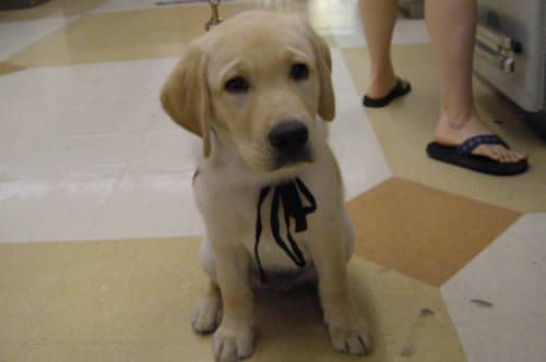 Dublin Puppy In Training