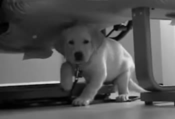 Black and White Lab Puppy