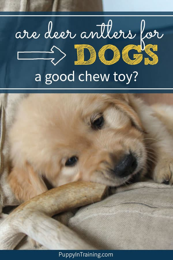 Are deer antlers for dogs a good chew toy? We've debated this over the years and there are definitely pros and cons to deer antlers for dogs. When the popularity of these chews came to the forefront some are definitely while others against these as a dog chew toy. #dogchews #deerantlersfordogs #deerantlers #antlersfordogs #dogchewtoys #deerantlersfordogsnatural