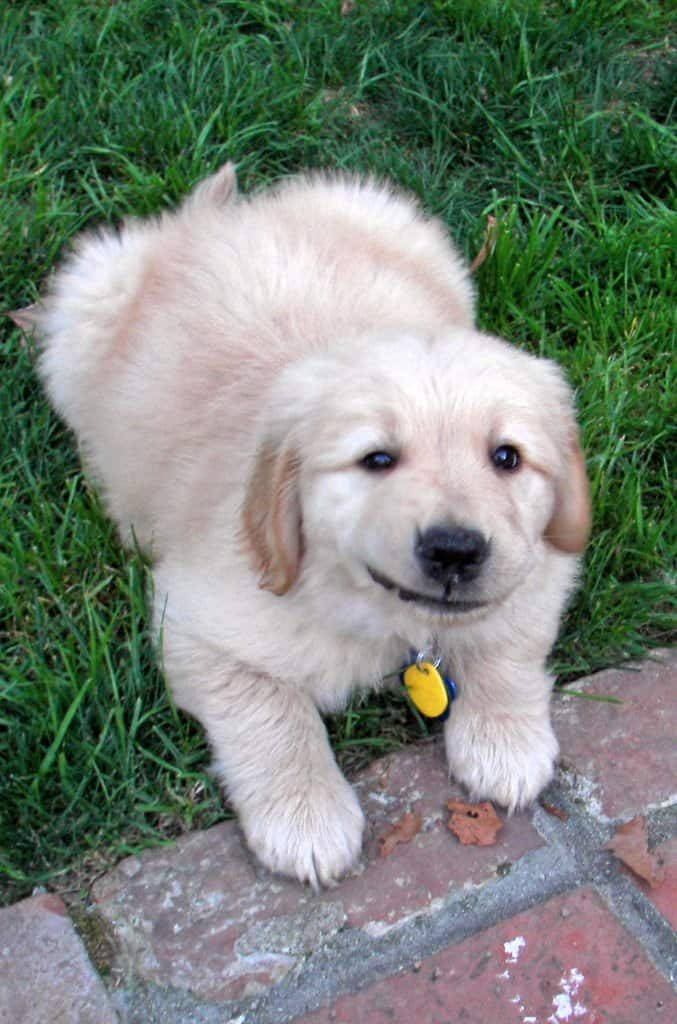 Apache, A Guide Dog Puppy In Training