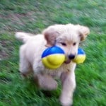 Golden Retriever Puppy Playing With Dog Toy