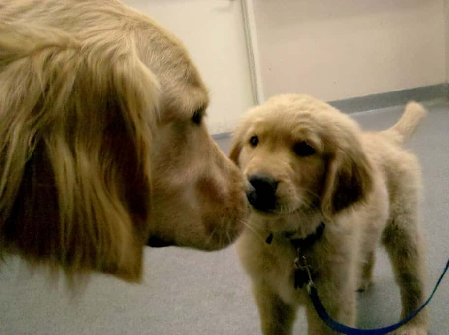 Golden Retriever Puppies - Einstein and Apache