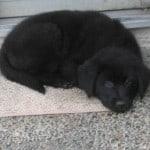 aussie-puppy