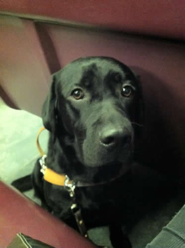 Guide Dog Bau On The Train