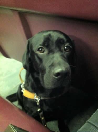 Guide Dog Bau On The Train