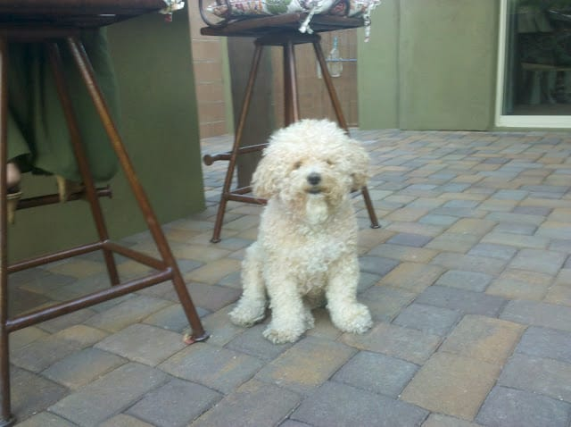 Ozzie - The Bichon Poo