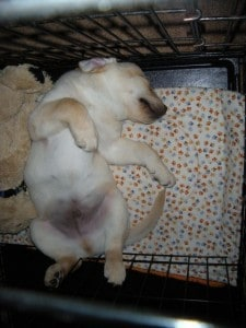 Dublin loves sleeping in his crate!