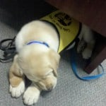 Dublin Guide Dog Pup